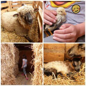 Schapenboerderij Texel Den Burg vakantie lammetjes knuffelen kuikens doolhof kabelbaan springkussen schommels glijbaan picknicken schapendrijven schapen scheren demonstraties dagje uit beleef het boerenleven recensie review